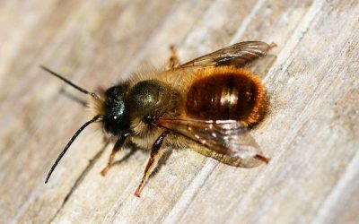 Research on Red mason bees
